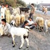 Congo Virus Found in Animals Forced Muslims in Pakistan to Skip the Act of Animal Sacrifice during Eid ul-Adha