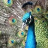 Peacock is the National Bird because it Does not Engage into Sex With Peahen: High Court Judge