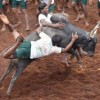 Amid Massive Statewide Protest over Jallikattu, 2 Died and 83 Wounded in the Traditional Bull-Taming Sport
